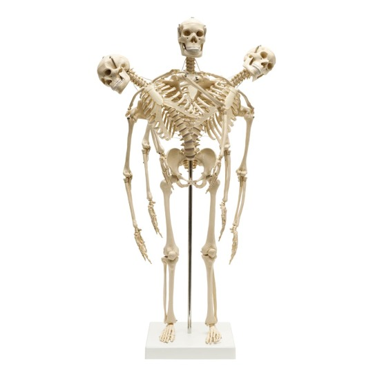 flexible-mini-skeleton