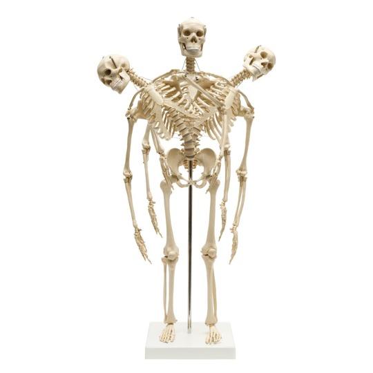 flexible-mini-skeleton