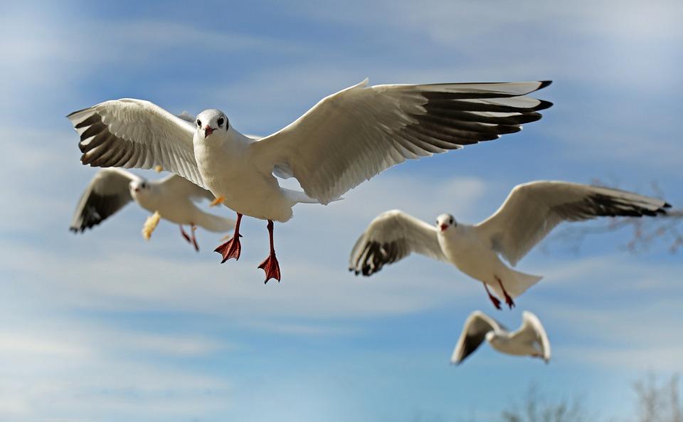Animal Seagull Coast Bird Close Fly Water Bird